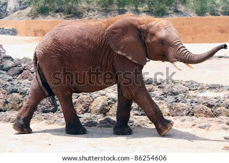 A lone elephant walking around in a sunny day - stock photo