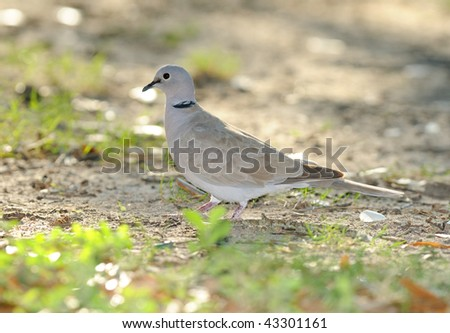 A lone Eurasian Collared-Dove (Streptopelia decaocto) on the ground in a park.