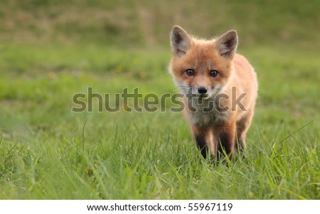 A lone fox pup in a green grassy field.