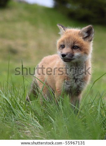 A lone fox pup in a green grassy field senses an intruder.