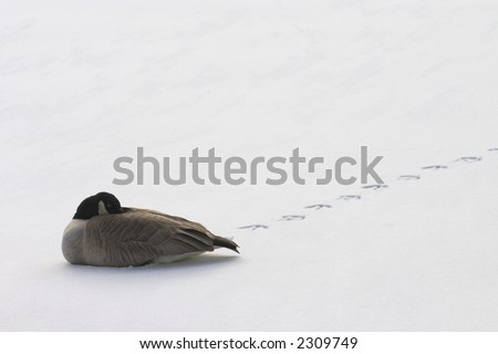 a lone goose resting on snow - stock photo