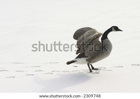 a lone goose spreading wings on snow