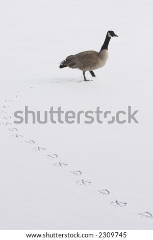 a lone goose walk on snow covered ice - stock photo