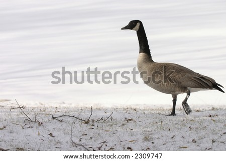 a lone goose walking by a frozen pond - stock photo