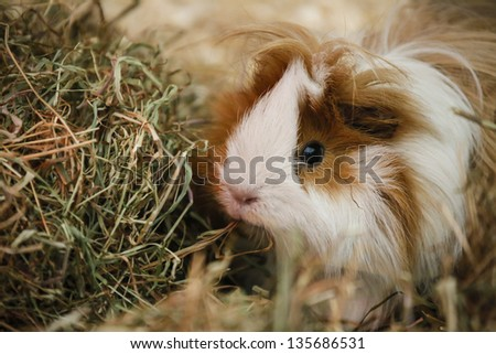 A Lone Guiney Pig Held In Petting Zoo