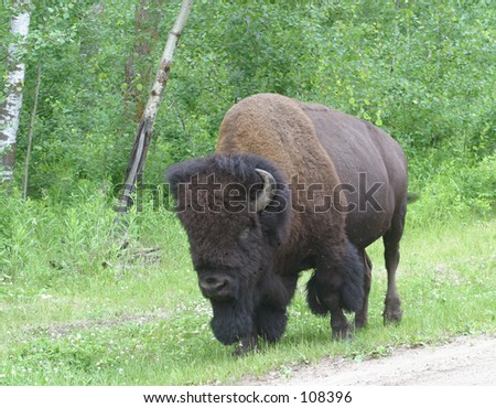 A lone male bison grazes on clover. - stock photo