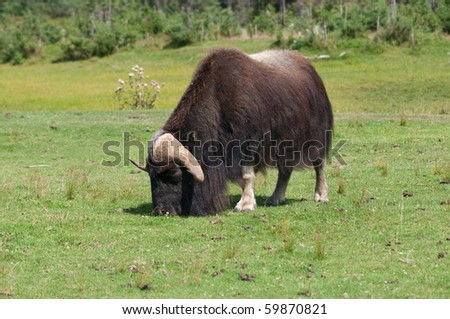 a lone muskox grazes in summer - stock photo