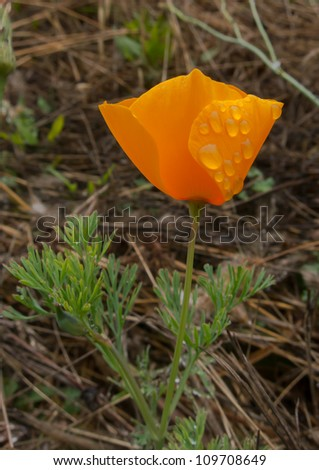 A lone orange poppy with water drops - stock photo