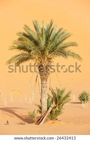 A lone palm tree in Erg Chebbi, at the western edge of the Sahara Desert - stock photo