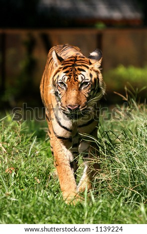 A lone proud tiger walking towards you
