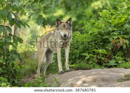A lone timber wolf in the forest - stock photo