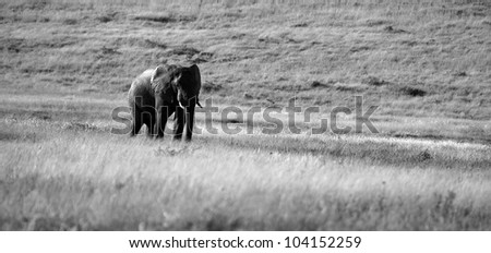 A lonely big elephant bull walking through a grass field in this monochrome / black and white photo.Taken while on safari in Addo elephant national park,eastern cape,south africa - stock photo