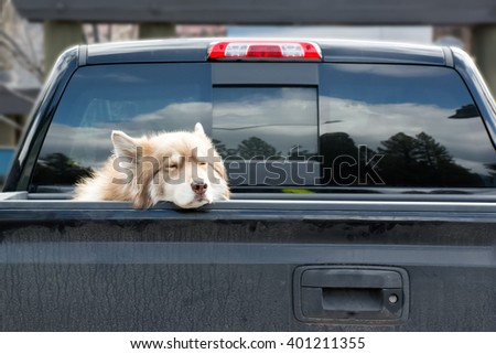 A lonely dog waits on the back of the dirty truck in the sunny day - selective focus