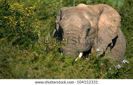 A lonely elephant bull feeding while surrounded by green bushes.Taken while on safari in Addo elephant national park,eastern cape,south africa - stock photo