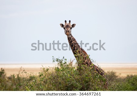 A lonely giraffe at the savanna looking into the camera and hiding behind the bushes