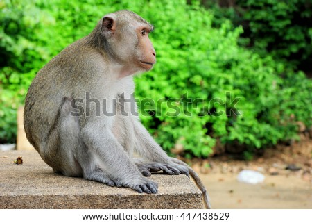 A lonely male long-tail mountain monkey sitting on gravel platform, looking forward with boring facial expression.