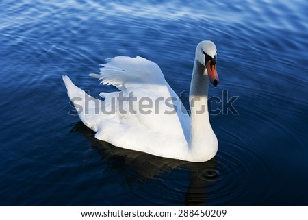 A lonely swan floating on the blue water - stock photo