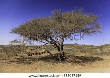 A lonely tree surviving the heat in the desert of Wadi Maidaq. - stock photo