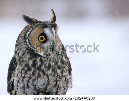 A Long-eared Owl (Asio otus) sitting on a perch with a snowy background.  - stock photo