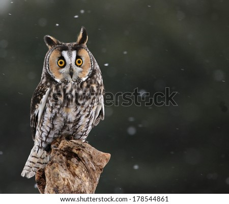 A Long-eared Owl (Asio otus) sitting on a perch with snow falling in the background.  - stock photo