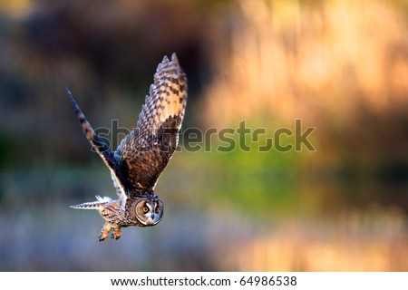 A long eared owl flying - stock photo