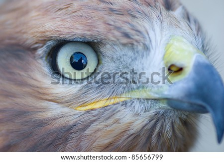 A Long-legged Buzzard's  (Buteo rufinus) eye with cage reflection in it. - stock photo