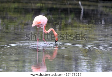 A long legged pink flamingo in the galapagos islands of ecuador - stock photo