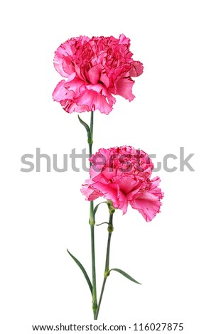 A long pink carnations - stock photo