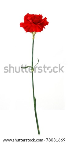 A long red carnation - stock photo