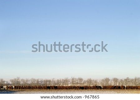 A long row of cattle eating at a feedlot. - stock photo