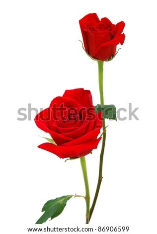 A long stem rose - stock photo