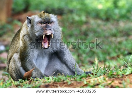 A long tail monkey with an angry expression - stock photo