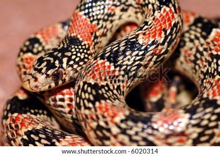 A longnose snake  found in the high desert region of Arizona. - stock photo