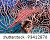 A longnosed Hawkfish in side profile perches on the branches of a Gorgonian fan coral in the Egyptian Red Sea - stock photo
