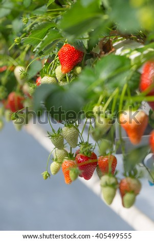 a look in the greenhouse at the strawberry farmer