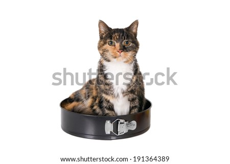 A looking tricolor turtle cat sitting in a cake pan, isolated on white