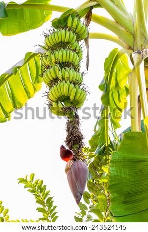 A lot of bananas and banana flower - stock photo