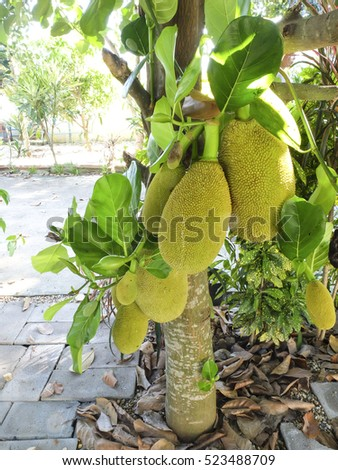 a lot of big jackfruits hanging on the jackfruit tree in afternoon summer,