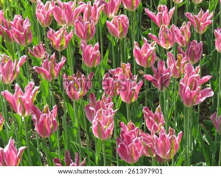 A lot of blooming tulips in the flowerbed in th - stock photo