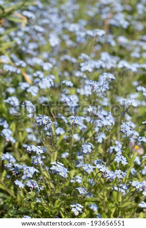 a lot of blue forget-me-not flowers in spring