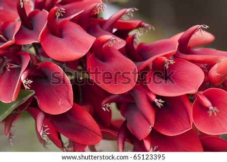 a lot of ceiba flowers (Erythrina Cristagalli) - stock photo
