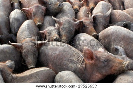 A lot of crowded piggies in a farm - stock photo