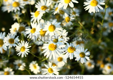 a lot of daisies