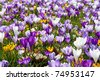 A lot of Dutch spring crocus flowers in field - stock photo