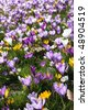 A lot of Dutch spring crocus flowers in sunshine - stock photo