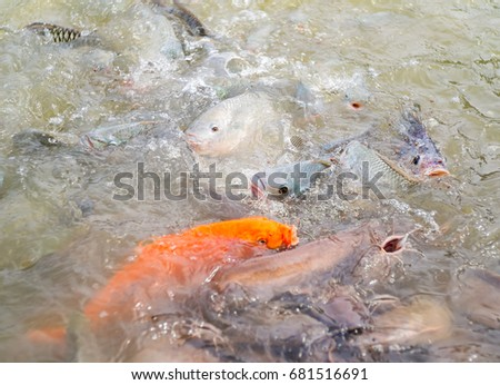 Goldfish lots stock images royalty free images vectors for Tilapia swimming