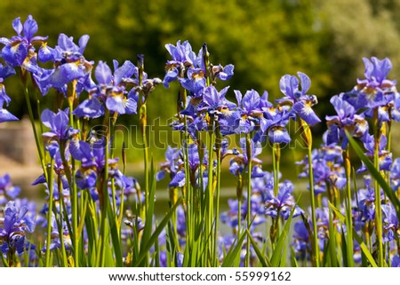 A lot of iris flowers in summer - stock photo
