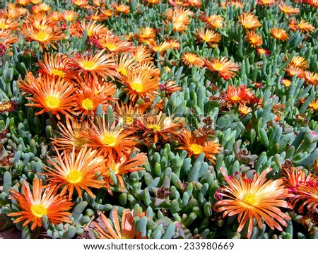 A lot of Orange Flowers of a Succulent Plant - stock photo