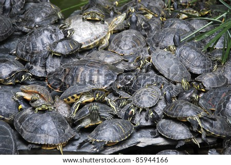 A lot of pond turtles stacked near the swamp - stock photo