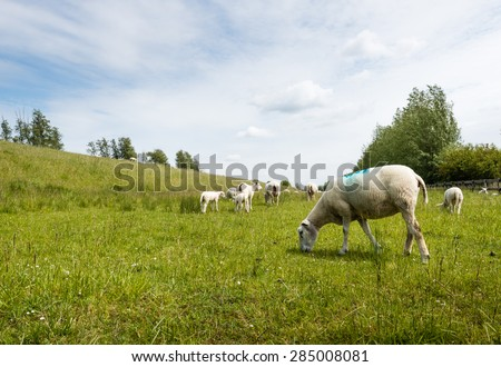 A lot of recently shorn sheep is grazing in the fresh grass next to a dike on a cloudy day in the spring season. - stock photo
